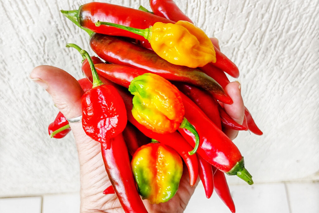 Hot chilly peppers thai food